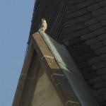 Wanderfalke auf der Kreuzkirche, (c) G. Alwin