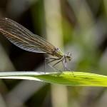 calopteryx-1306