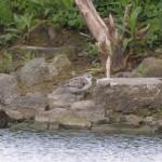 sanderling-rf-ms-e1-6515-ok