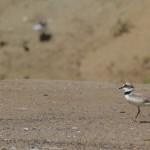 flussregenpfeifer-in-mecklenbeck-mit-jungvogel