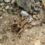 gewohnliche-strauchschreckecr