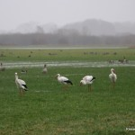 storch1cr