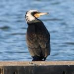 kormoranaaseecr